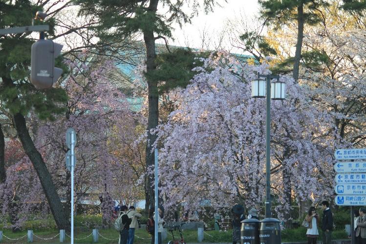 桜<平安神宮前>_c0180971_21342625.jpg
