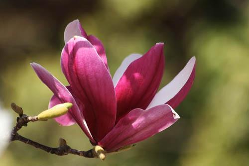 咲き残りの河津桜とモクレン。シジュウカラ_f0030085_214334.jpg