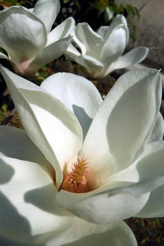 咲き残りの河津桜とモクレン。シジュウカラ_f0030085_2162851.jpg