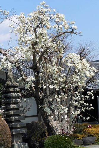 咲き残りの河津桜とモクレン。シジュウカラ_f0030085_216475.jpg