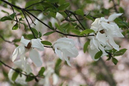 咲き残りの河津桜とモクレン。シジュウカラ_f0030085_2181268.jpg