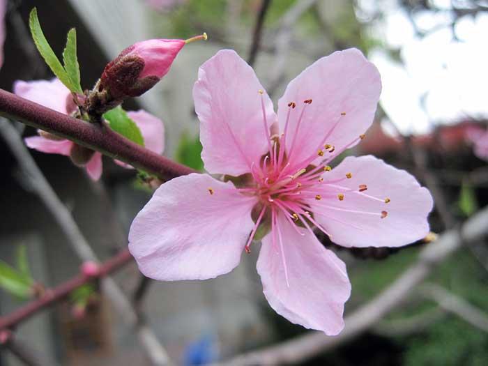 桃の花_e0016894_15562883.jpg