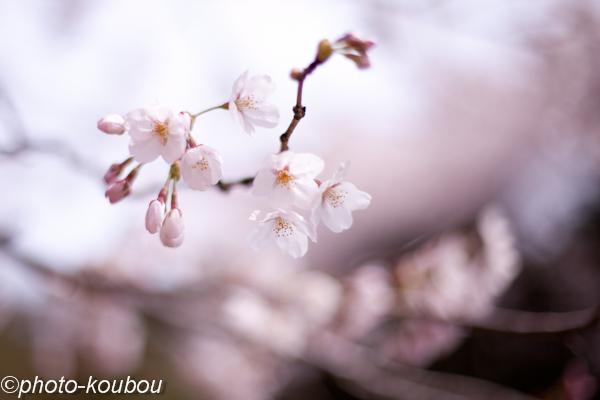 桜咲く_f0217594_11141951.jpg