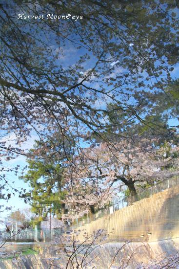 SAKURA~逆さま桜_b0208495_2302735.jpg
