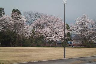 ☆桜満開!!☆_d0027501_16542792.jpg