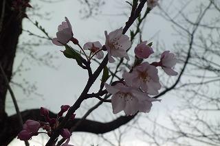 ☆桜満開!!☆_d0027501_16543682.jpg