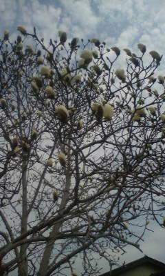 白木蓮の花がやっと咲き始めました。_d0026905_1103348.jpg
