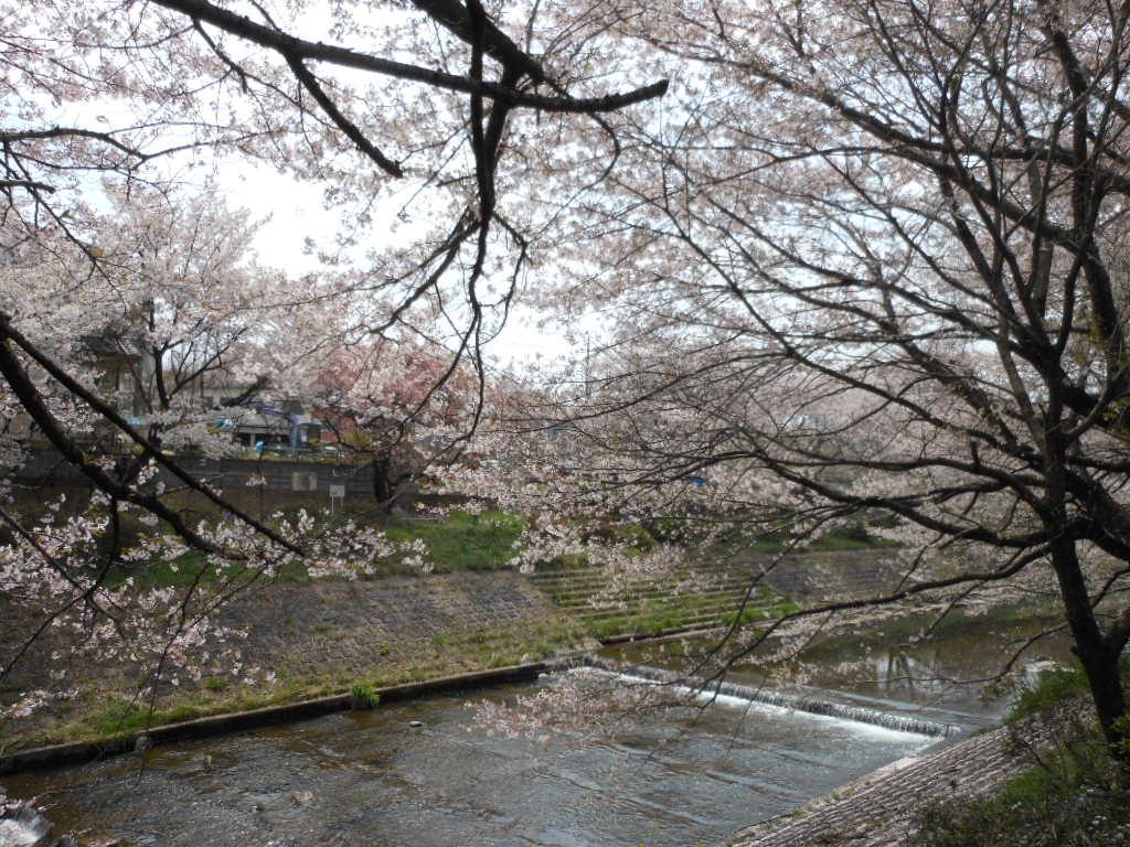 老育  ここの桜はまだまだ楽しめる_c0155326_12313752.jpg