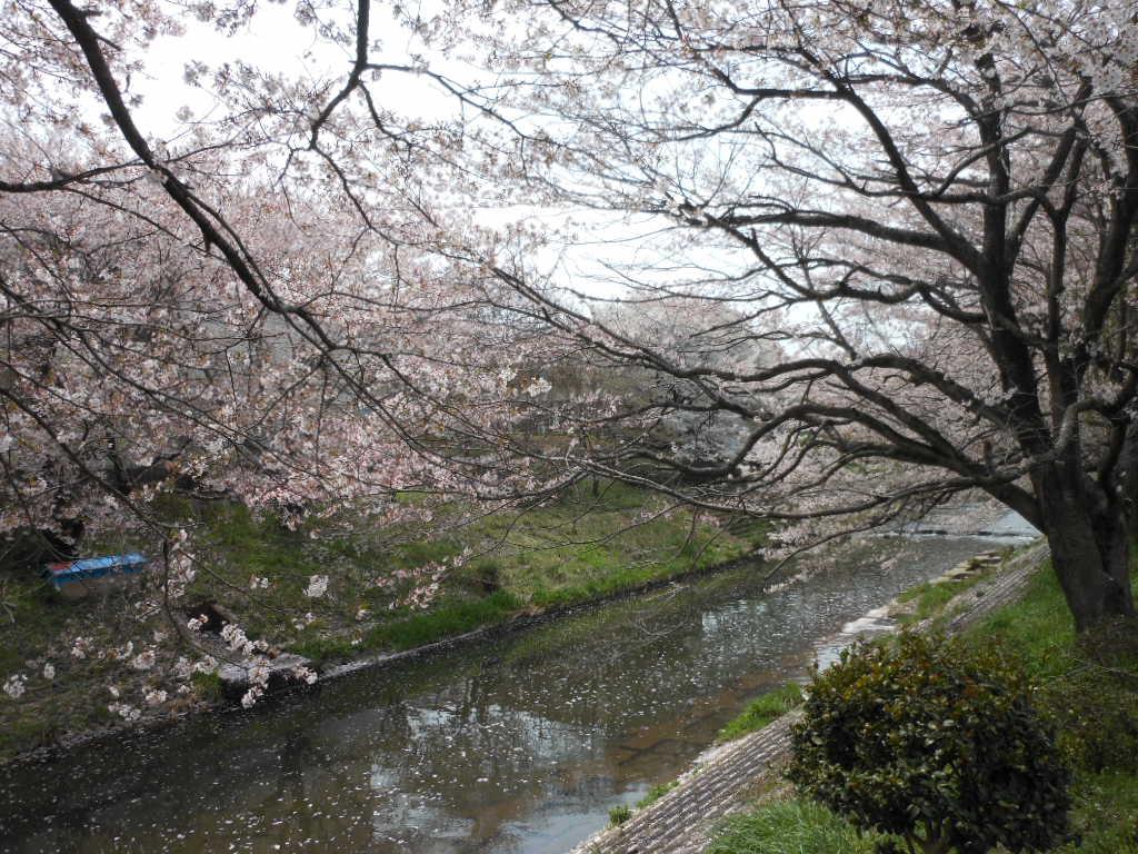 老育  ここの桜はまだまだ楽しめる_c0155326_123184.jpg