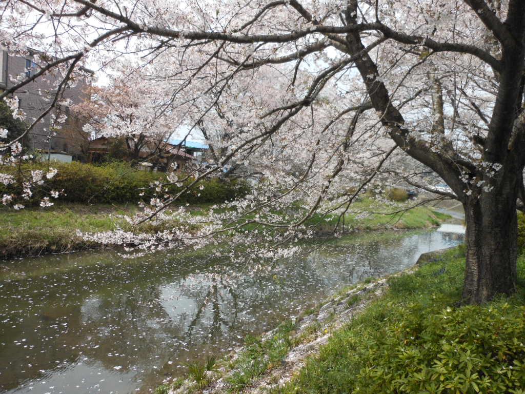 老育  ここの桜はまだまだ楽しめる_c0155326_12323539.jpg