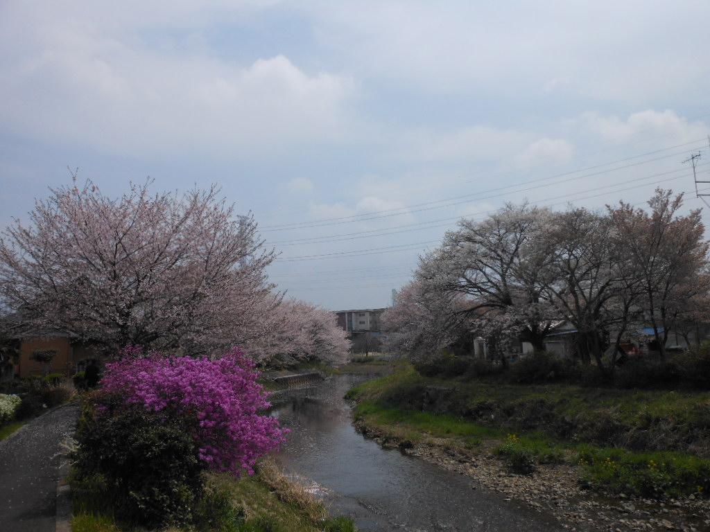 老育  ここの桜はまだまだ楽しめる_c0155326_1233781.jpg