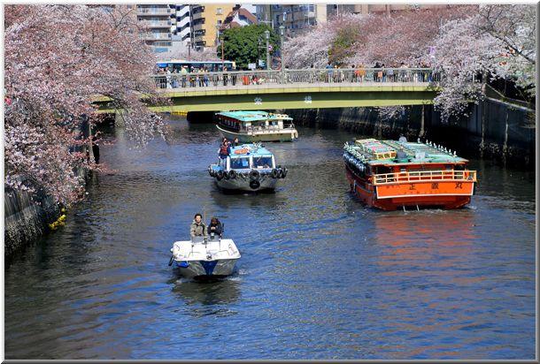 今年のハマ桜(大岡川)Ⅱ_d0123528_12103053.jpg