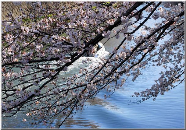 今年のハマ桜(大岡川)Ⅱ_d0123528_12173454.jpg