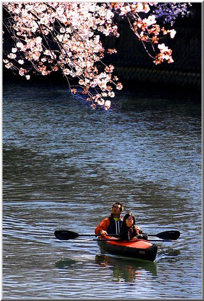今年のハマ桜(大岡川)Ⅱ_d0123528_12244668.jpg