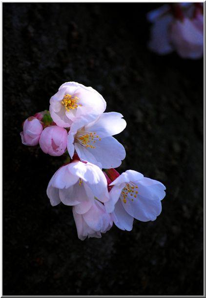 今年のハマ桜(大岡川)Ⅱ_d0123528_12283530.jpg