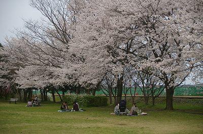 金沢も満開の桜!_d0043136_204344.jpg