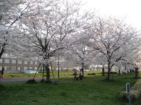 桜も散り始めて (花の命は短くて・・・)_c0206545_1253293.jpg