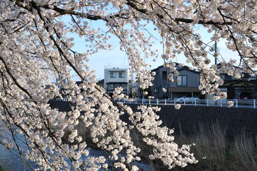 桜(2)_c0093046_9324845.jpg