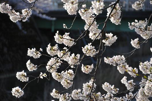 桜(2)_c0093046_9332482.jpg