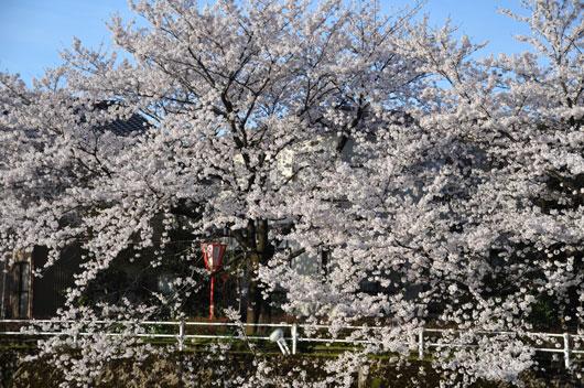 桜(2)_c0093046_9334085.jpg