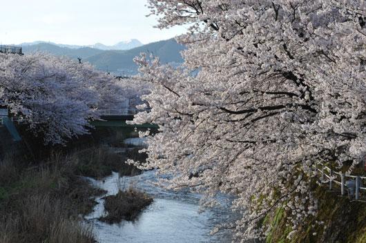 桜(2)_c0093046_9335675.jpg