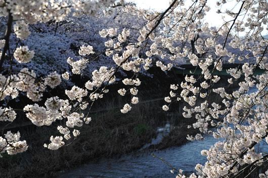 桜(2)_c0093046_933862.jpg
