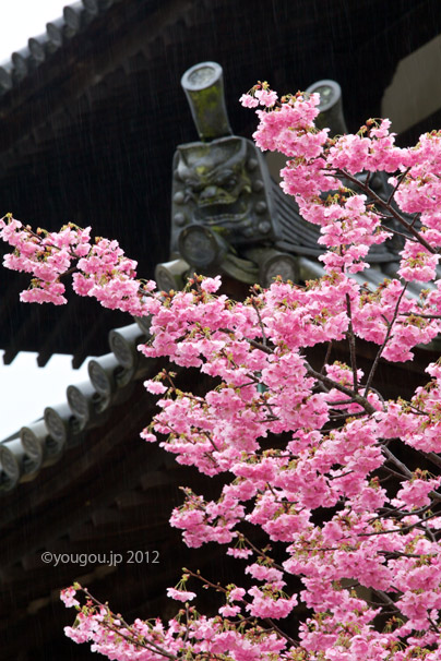 八重桜と東大寺戒壇院  SAKURA and Todaiji temple._e0245846_16391766.jpg