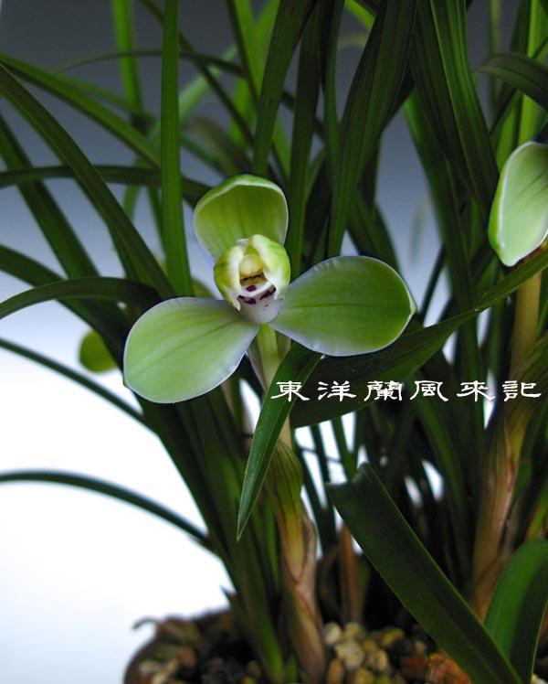 中国蘭「一茎九華・程梅」など             No.1151_d0103457_0265276.jpg
