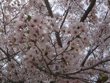 家族でお花見_d0191262_237143.jpg