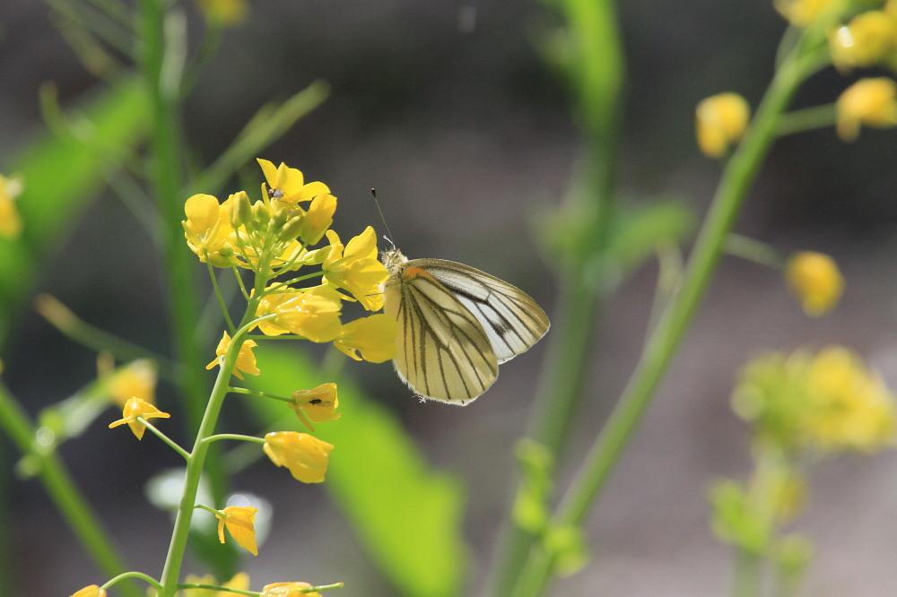 スジグロシロチョウ  なかなか翅裏を撮らせてくれない。 2012.4.15埼玉県②_a0146869_4253093.jpg