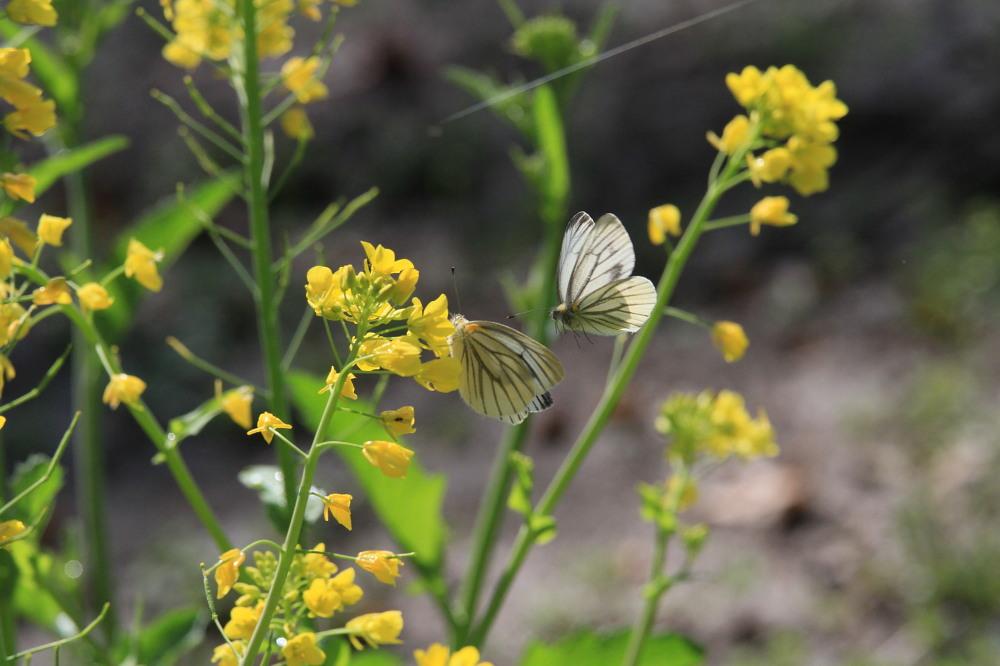 スジグロシロチョウ  なかなか翅裏を撮らせてくれない。 2012.4.15埼玉県②_a0146869_4254475.jpg