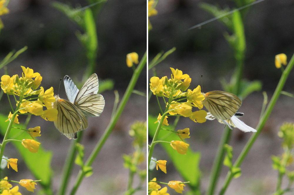 スジグロシロチョウ  なかなか翅裏を撮らせてくれない。 2012.4.15埼玉県②_a0146869_4255727.jpg