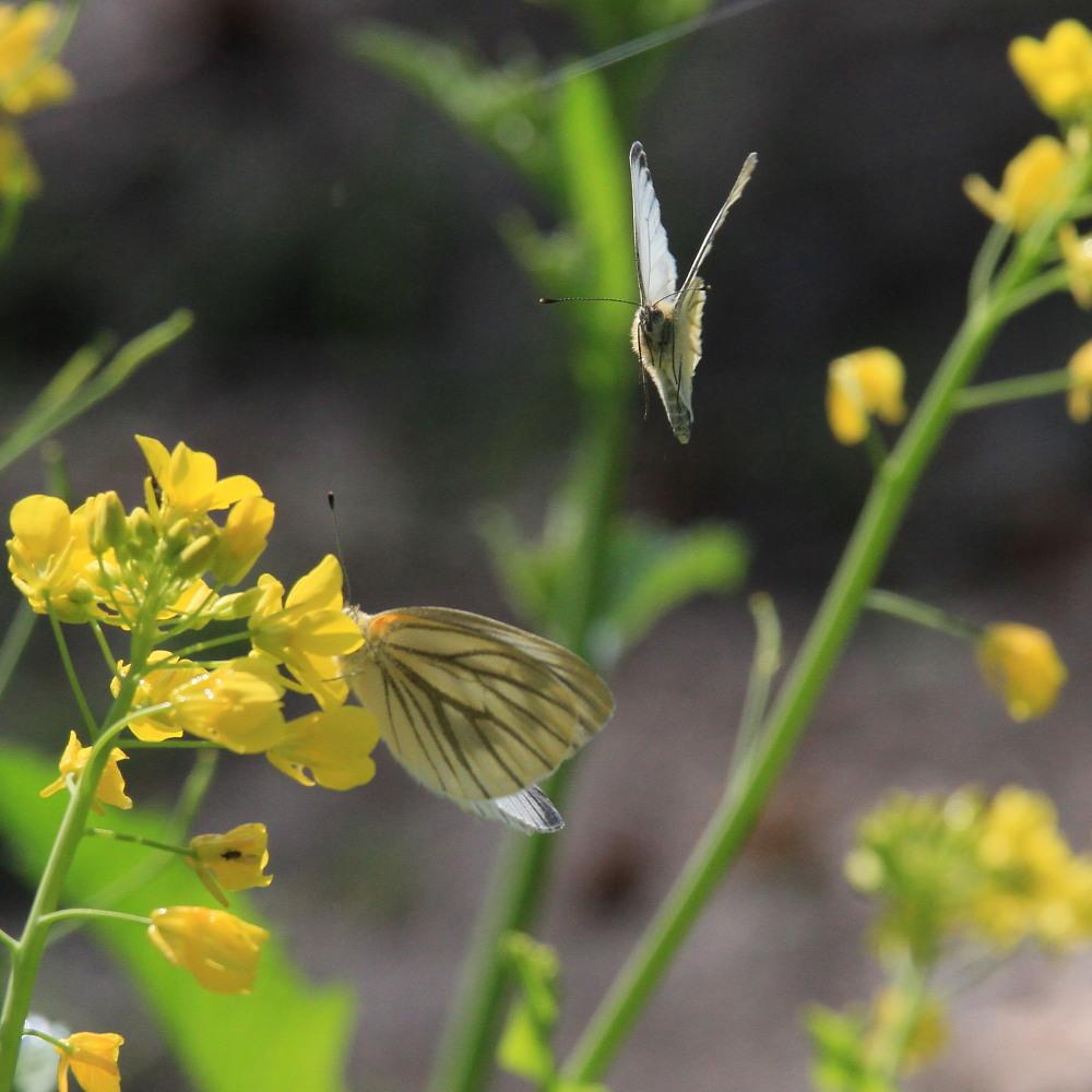 スジグロシロチョウ  なかなか翅裏を撮らせてくれない。 2012.4.15埼玉県②_a0146869_4261221.jpg