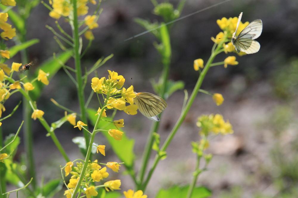 スジグロシロチョウ  なかなか翅裏を撮らせてくれない。 2012.4.15埼玉県②_a0146869_4263251.jpg