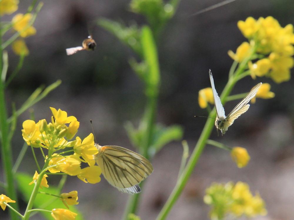 スジグロシロチョウ  なかなか翅裏を撮らせてくれない。 2012.4.15埼玉県②_a0146869_4271321.jpg