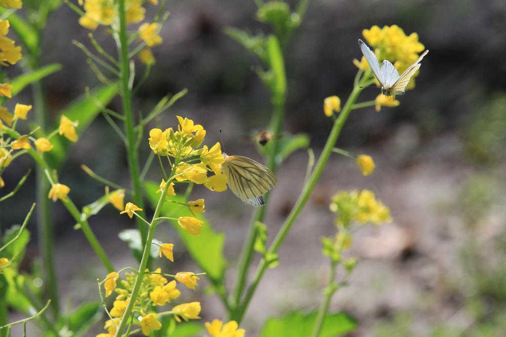 スジグロシロチョウ  なかなか翅裏を撮らせてくれない。 2012.4.15埼玉県②_a0146869_4273163.jpg