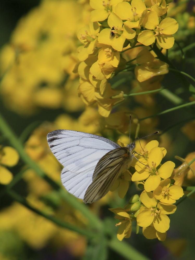 スジグロシロチョウ  なかなか翅裏を撮らせてくれない。 2012.4.15埼玉県②_a0146869_4332577.jpg