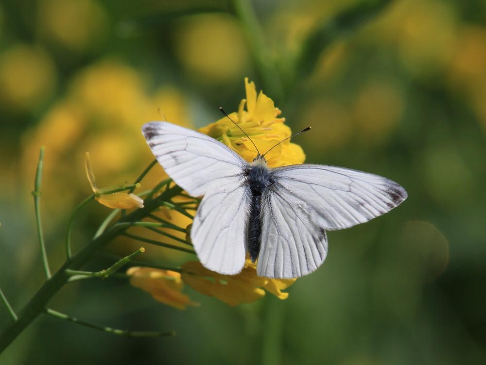 スジグロシロチョウ  なかなか翅裏を撮らせてくれない。 2012.4.15埼玉県②_a0146869_4341156.jpg