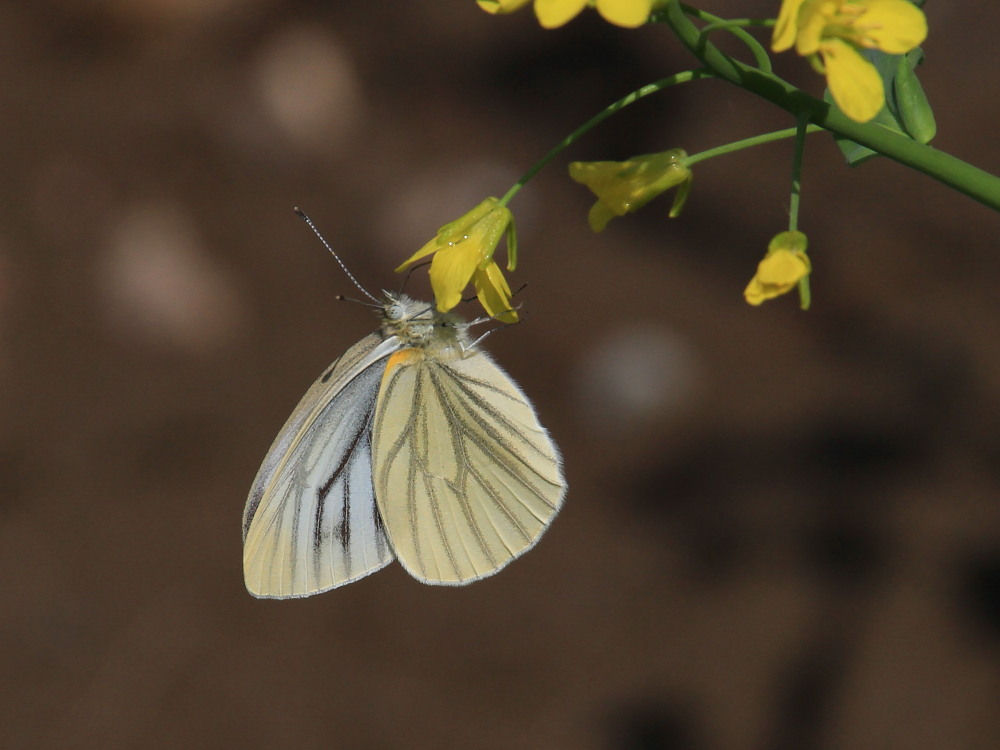 スジグロシロチョウ  なかなか翅裏を撮らせてくれない。 2012.4.15埼玉県②_a0146869_4381350.jpg