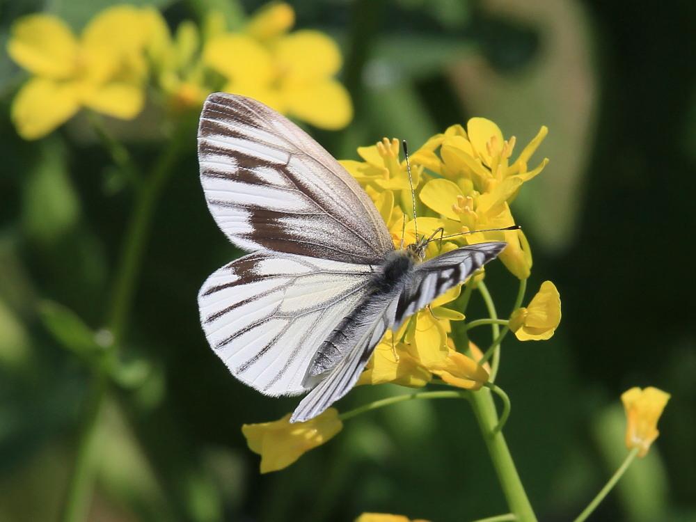 スジグロシロチョウ  なかなか翅裏を撮らせてくれない。 2012.4.15埼玉県②_a0146869_4384197.jpg