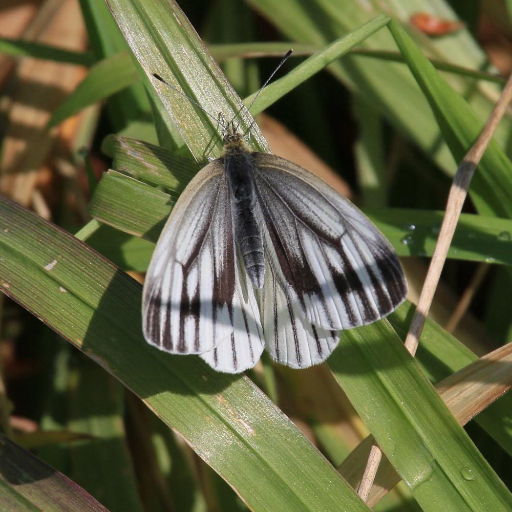 スジグロシロチョウ  なかなか翅裏を撮らせてくれない。 2012.4.15埼玉県②_a0146869_439139.jpg