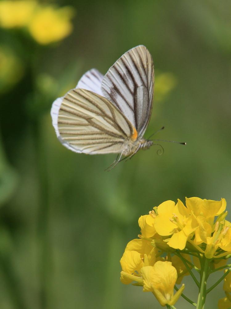 スジグロシロチョウ  なかなか翅裏を撮らせてくれない。 2012.4.15埼玉県②_a0146869_441770.jpg