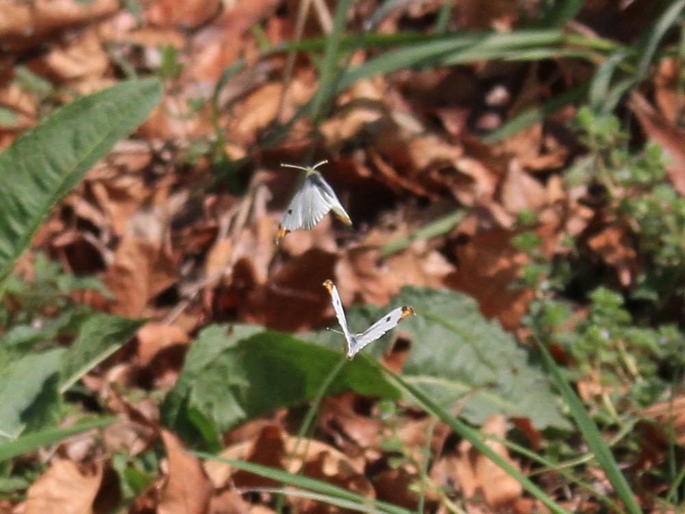 スジグロシロチョウ  なかなか翅裏を撮らせてくれない。 2012.4.15埼玉県②_a0146869_4435183.jpg