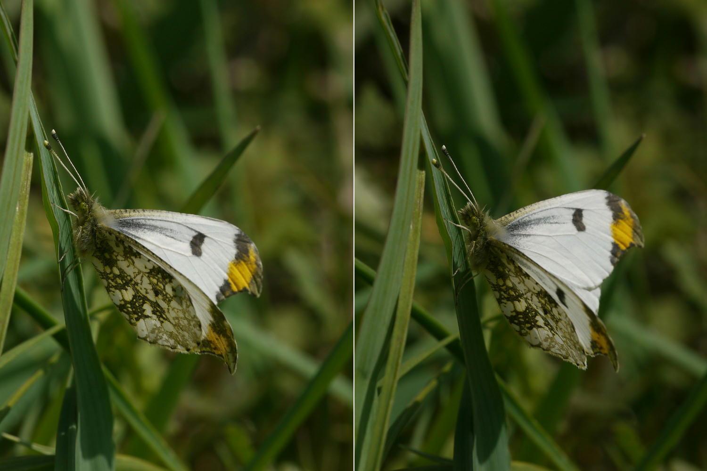 スジグロシロチョウ  なかなか翅裏を撮らせてくれない。 2012.4.15埼玉県②_a0146869_449794.jpg
