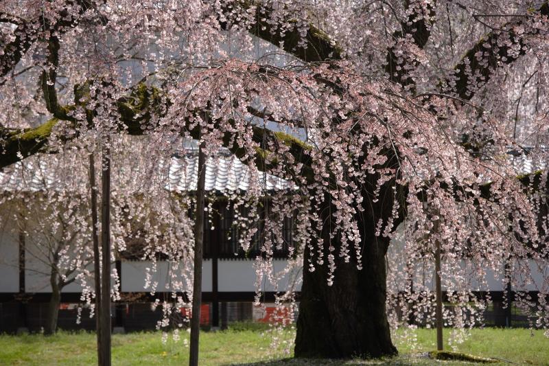 桜 2012  京都 <醍醐寺>_f0021869_23273385.jpg