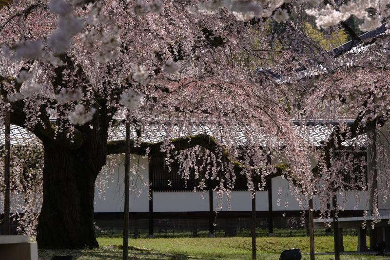 桜 2012  京都 <醍醐寺>_f0021869_2327593.jpg