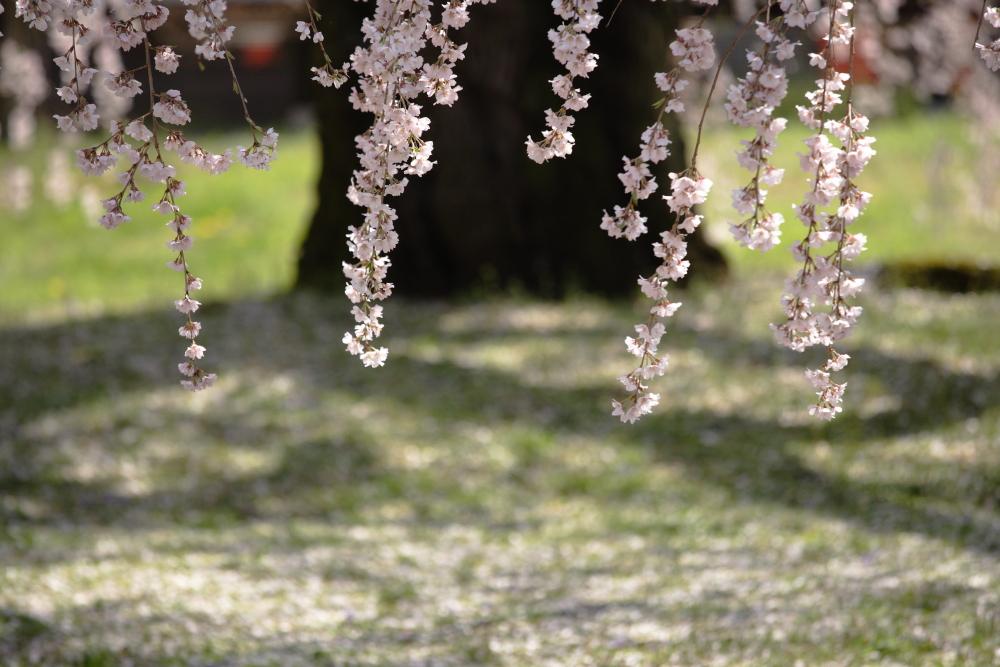 桜 2012  京都 <醍醐寺>_f0021869_23281938.jpg