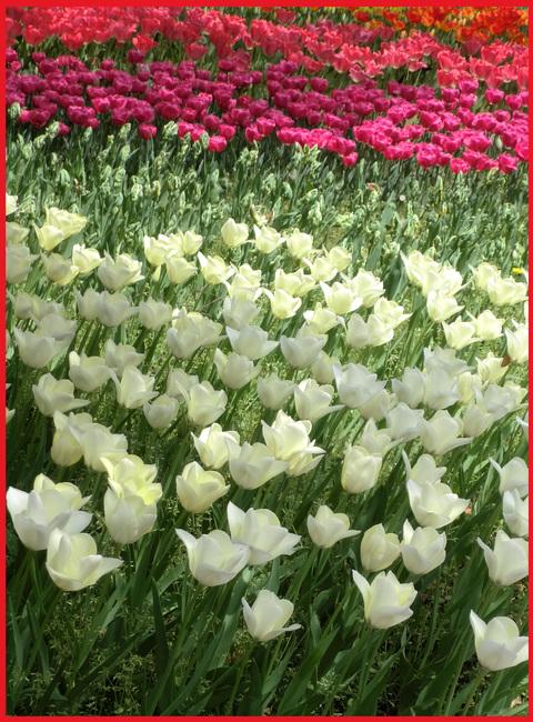 チューリップの国から、ぶら静香・海外編。AMS?から、春の花お届け。_e0236072_13462313.jpg