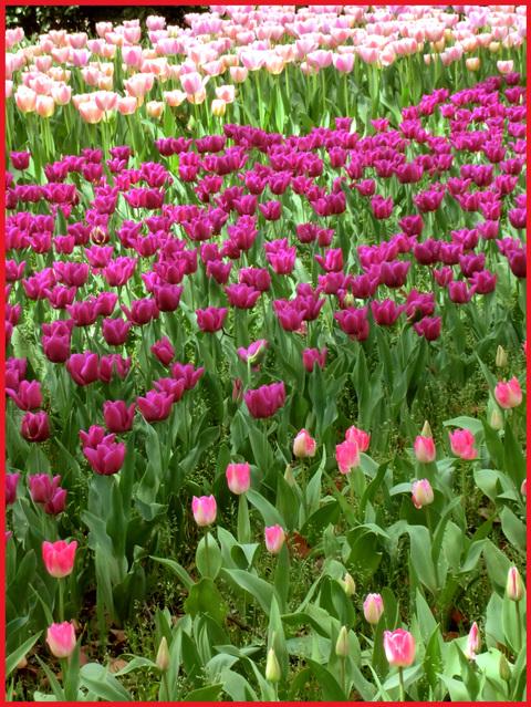 チューリップの国から、ぶら静香・海外編。AMS?から、春の花お届け。_e0236072_13522828.jpg
