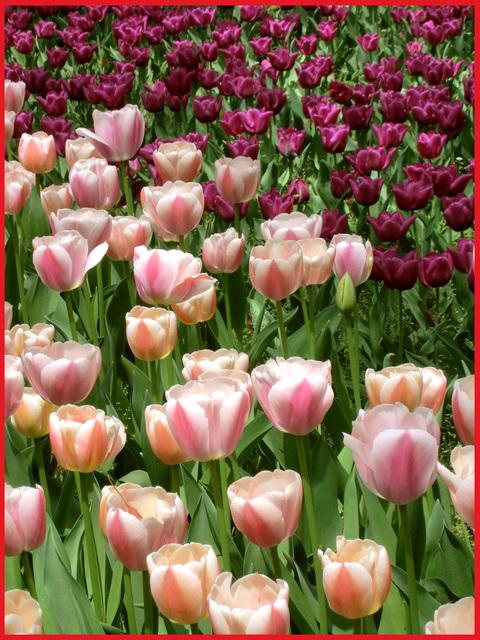 チューリップの国から、ぶら静香・海外編。AMS?から、春の花お届け。_e0236072_1359146.jpg